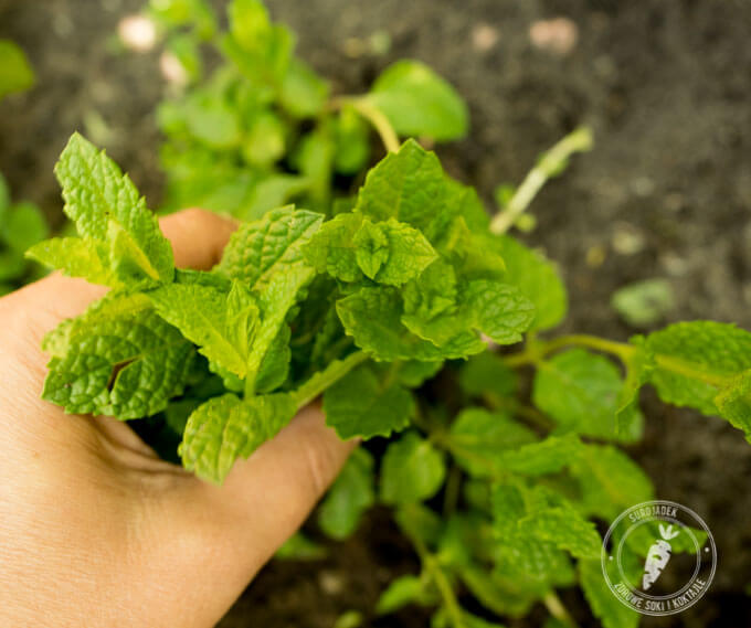 mięta jest rośliną najmocniej napakowaną przeciwutleniaczami wśród powszechnie dostępnych roślin zielonych