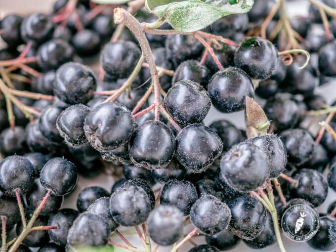 aronia to bogate źródło polifenoli