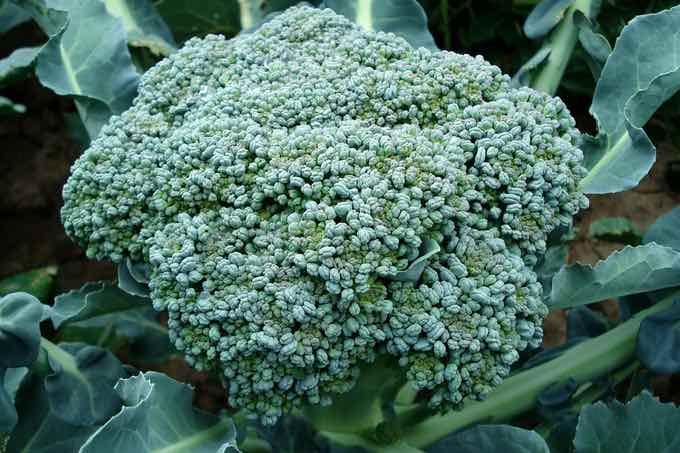 brokuły są bogate w witaminę c