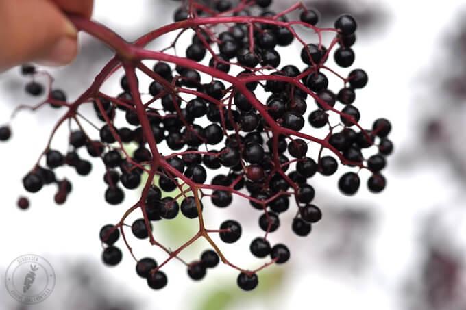 czarny bez - owoce i kwiaty mają właściwości lecznicze