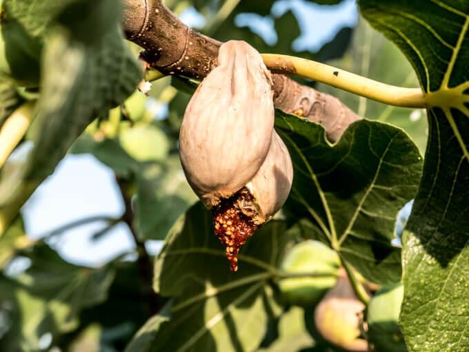 Figa to owoc poprawiający perystaltykę, odżywiający jelita