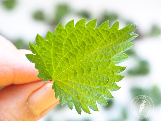 Dzikie rośliny są bogatsze w składniki odżywcze. Lodowa sałata w porównaniu z mniszkiem lekarskim zawiera 14 razy mniej składników odżywczych!