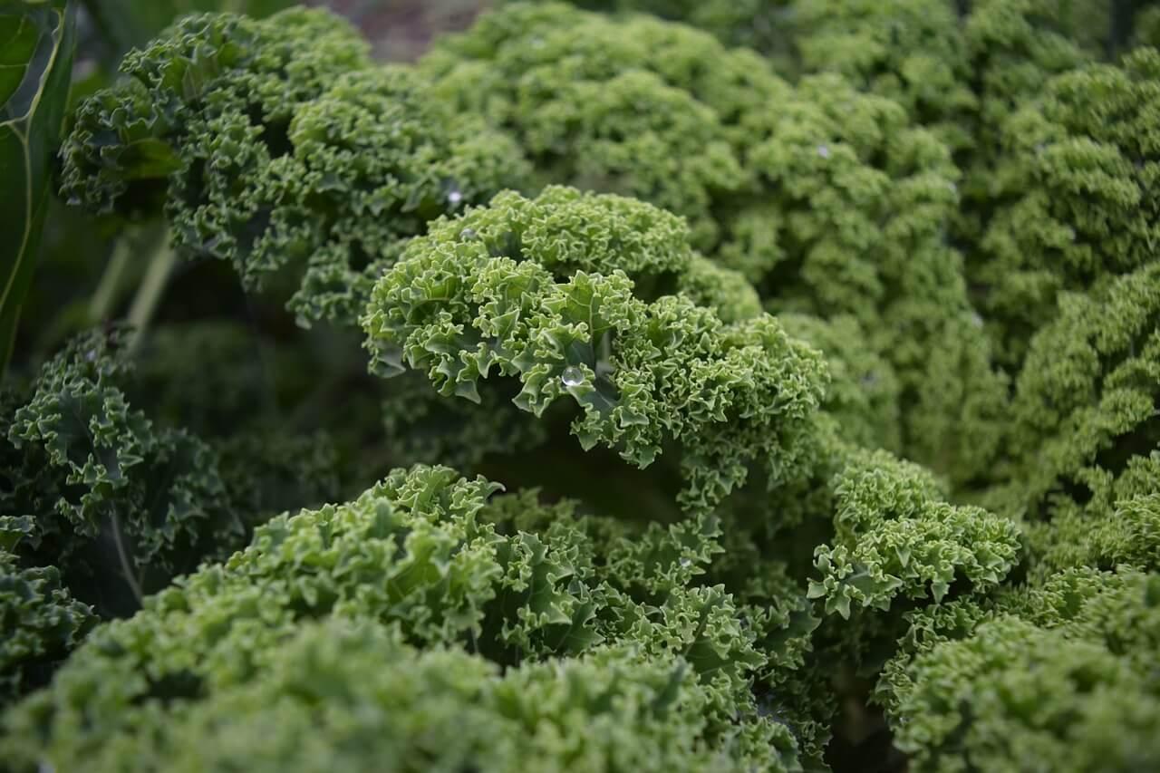 jarmuż zielony o karbowanych liściach najbardziej popularna odmiana jarmużu