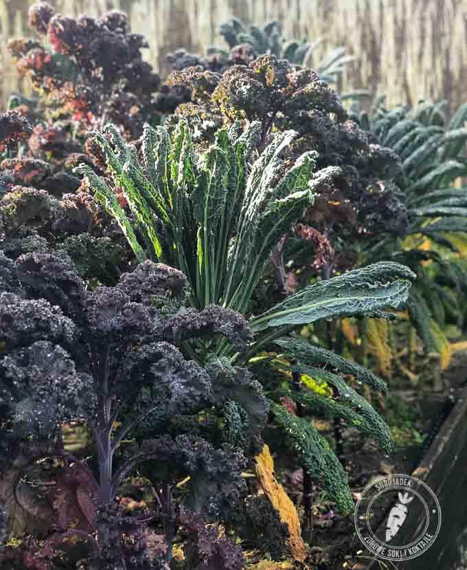 Jarmuż to smaczna i łatwa w pielęgnacji roślina. Idealna nawet dla początkującego ogrodnika.