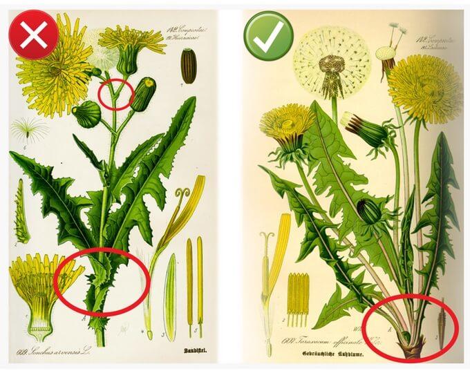 mlecz to zupełnie inna roślina, jednak ma podobne działanie zdrowotne jak mniszek lekarski. Liście mniszka wyrastają bezpośrednio z ziemi, mleczu z łodygi rośliny; kwiaty mniszka rosną pojedynczo, a na łodygach mleczu może być nawet kilka kwiatów