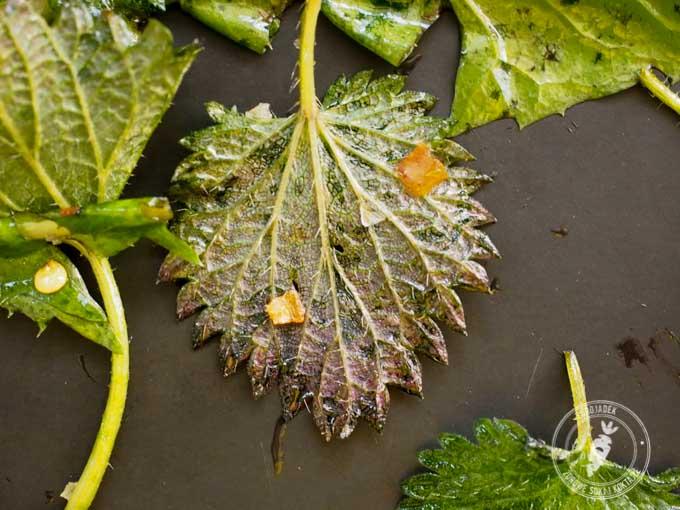 Umyj liście i dodaj do nich oliwę, czosnek w proszku, sól i chilli, a następnie upiecz w piekarniku.