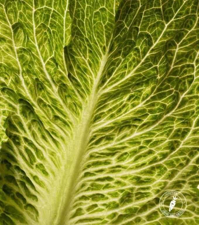 algi i zielone liście to najbogatsze źródło chlorofilu