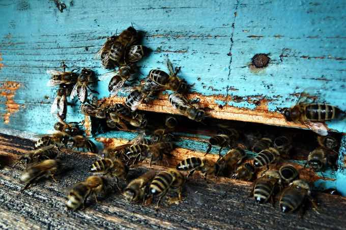 propolis dezynfekuje i chroni przed chorobami, wirusami