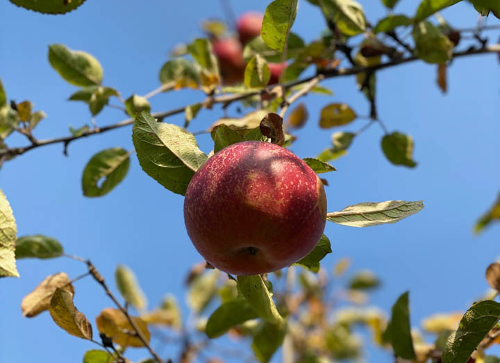 najbardziej wartościowy ocet powstaje z całych jabłek. Tylko taki ocet zawiera to, co najlepsze w miąższu, skórce, gniazdach nasiennych i nasionach.