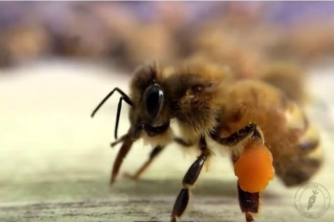 jak zbierany jest pyłek pszczeli i jak powstaje pierzga