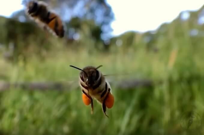 pszczoła przynosi pyłek pszczeli z którego powstaje pierzga