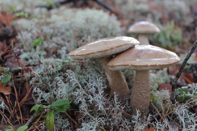 grzyby jadalne podnoszą odporność organizmu i zapobiegają wilu chorobom, w tym chorobom nowotworowym