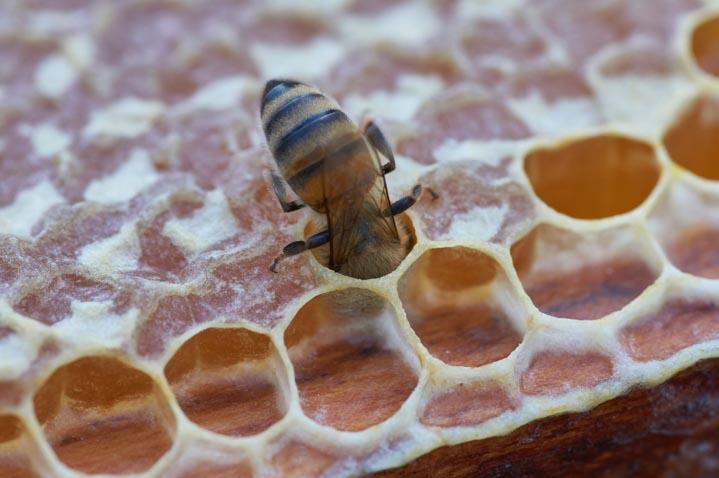 Miód powstaje z nektaru lub spadzi, która spijana jest przez pszczoły