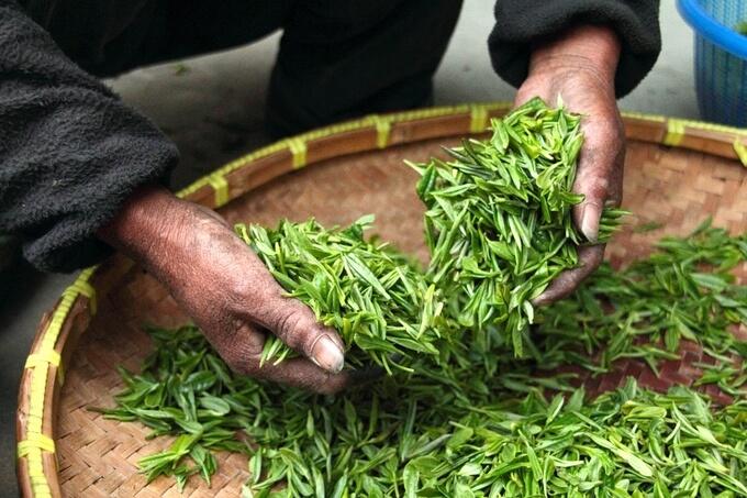 zielona herbata wspomaga naprawę komórek DNA i chroni przed rakiem skóry