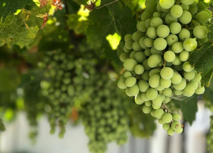Koktajl z winogron to propozycja dla wszystkich, którzy lubią słodkie zielone koktajle. Ten pyszny zielony koktajl to z całą pewnością duża dawka pozytywnej, zielonej energii.